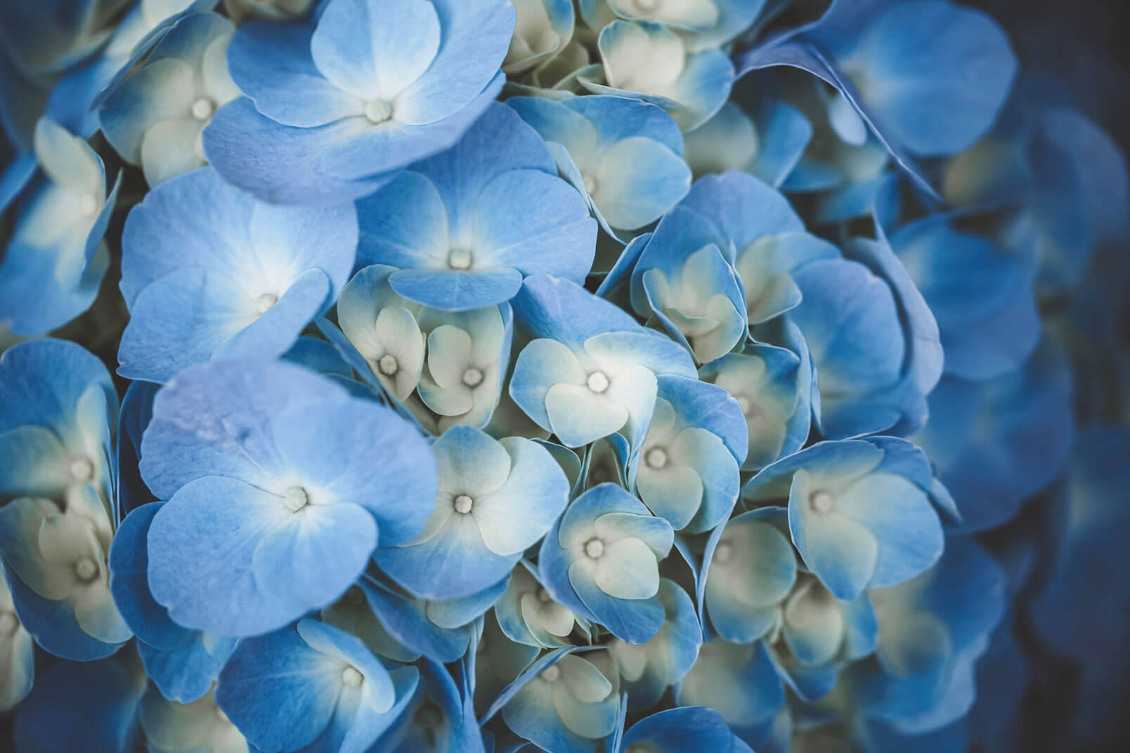 The blue wedding colour palette got from an hortensia flower.